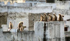 Amourous-Monkies,-India.jpg