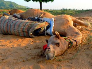 Camel,-Sunset,-Rhajastan,-India.jpg
