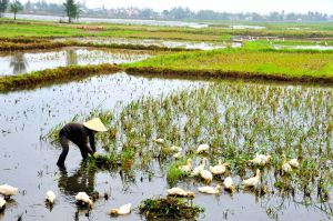 Rice-farmer-and-geese.jpg