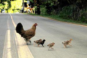 Chicken-crossing-road---why--c38.jpg