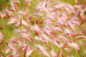 pink-grass-c23.jpg